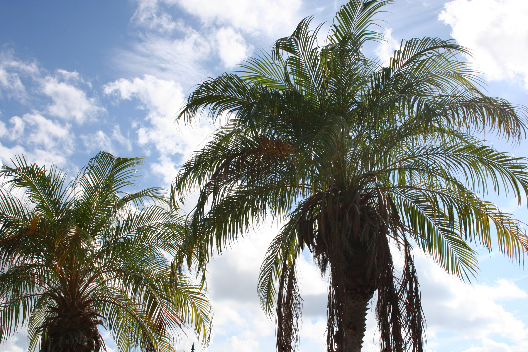 Holly Hill palm trees
