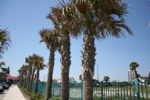 beautiful palm trees in Daytona Beach Shores