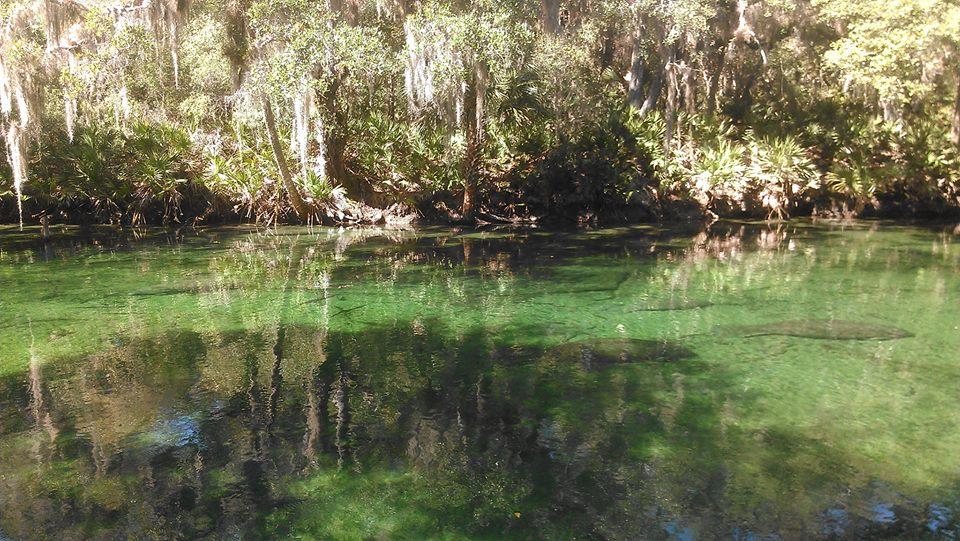 manatees Blue Springs