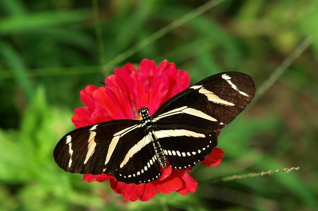 zebra-longwing-587787_640