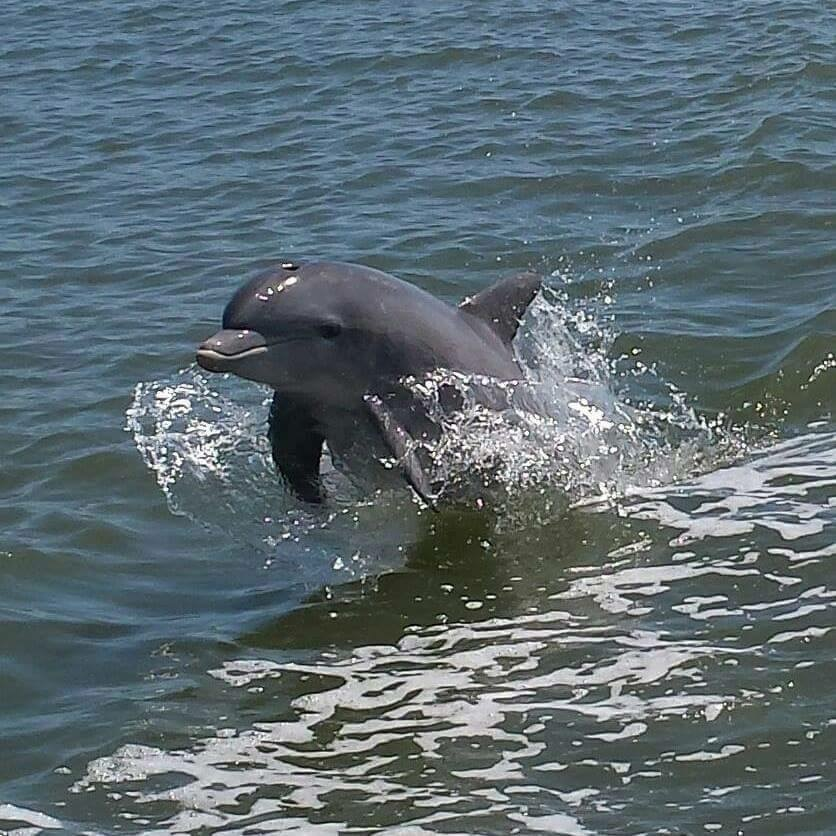 dolphin jumping in NSB river tour